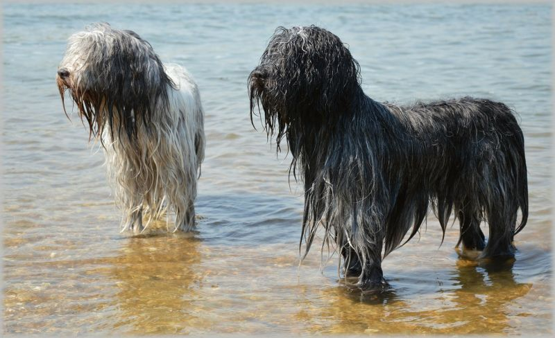Perro de agua
