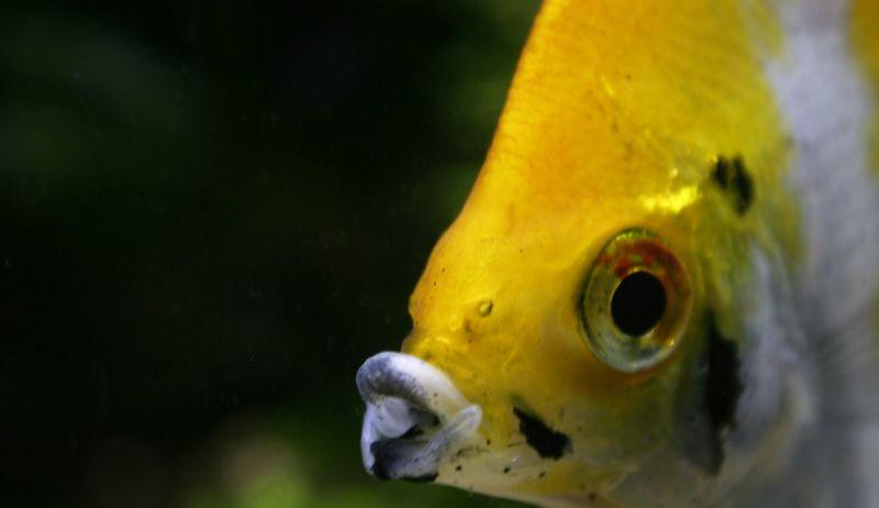 Pez ángel Características, reproducción, hábitat, acuario