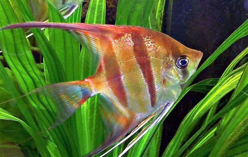 Pez ngel caracter sticas reproducci n h bitat acuario for Tipos de jaulas para peces
