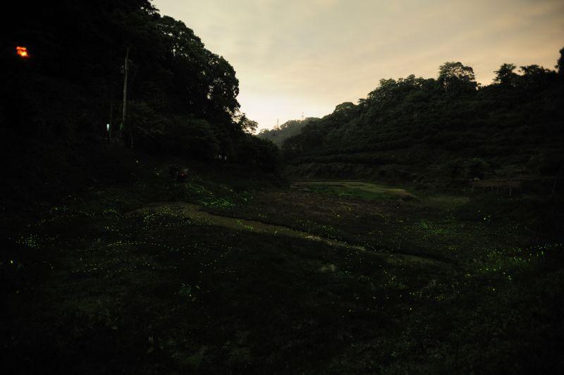 luciernagas, características, hábitat, alimentación, reproducción, luz