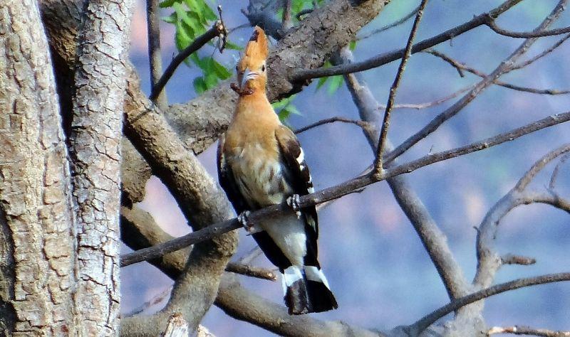 Abubilla, características, alimentación, hábitat, reproducción Pájaro, ave