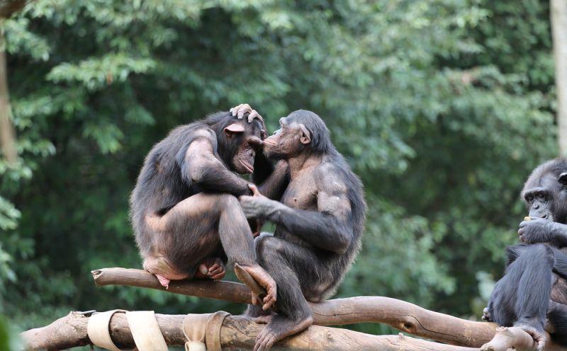 Chimpancé, características, reproducción, alimentación Mono