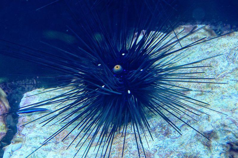 El erizo de mar