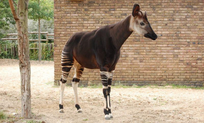 Okapi, qué es, características, hábitat, comportamiento, conservación