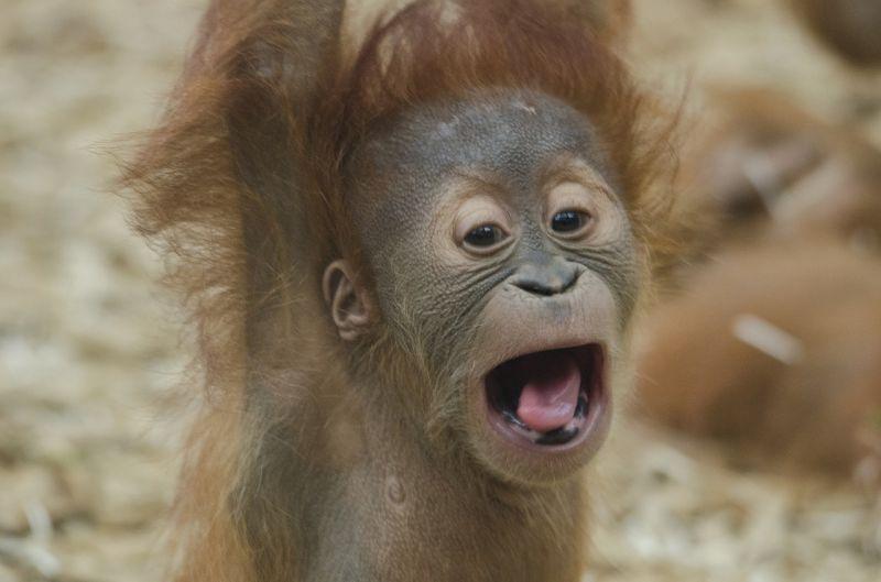 Orangután, características, reproducción, alimentación, hábitat