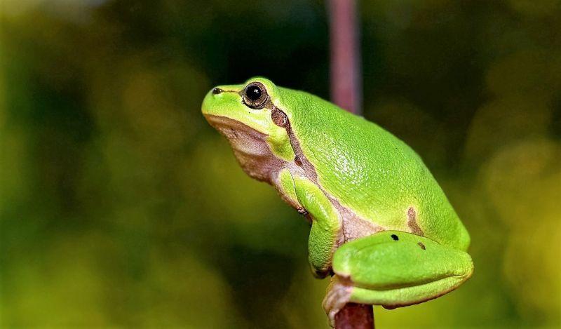 Rana, características, reproducción, alimentación, hábitat, venenosa
