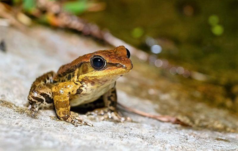 Rana | Características, reproducción, alimentación, hábitat, venenosa