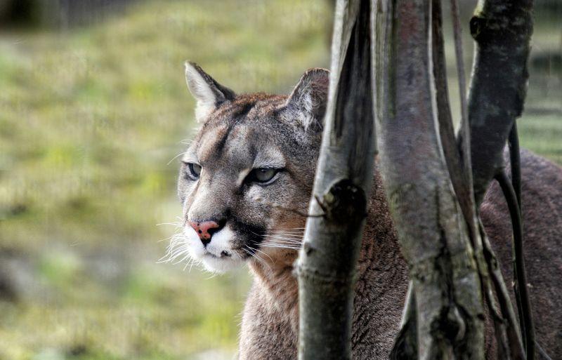 El Puma Características, alimentación, reproducción Animal