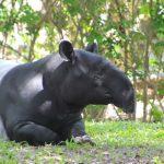 El tapir
