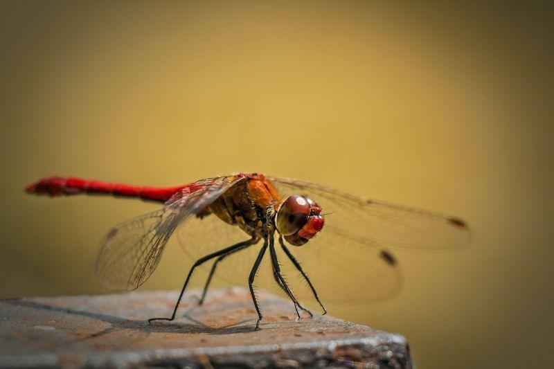 Libélula, características, reproducción, vuelo, informacion Insecto