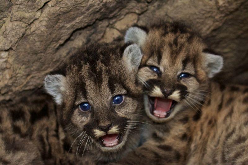 Hacer deporte Intensivo Proverbio  El Puma | Características, alimentación, reproducción | Animal