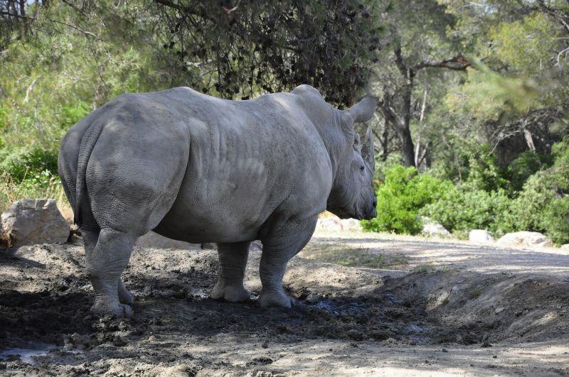 Rinoceronte negro Características, reproducción, alimentación, protección