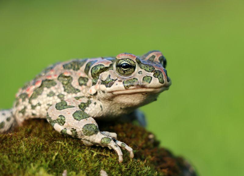 Sapo, características, hábitat, alimentación, reproducción, enemigos