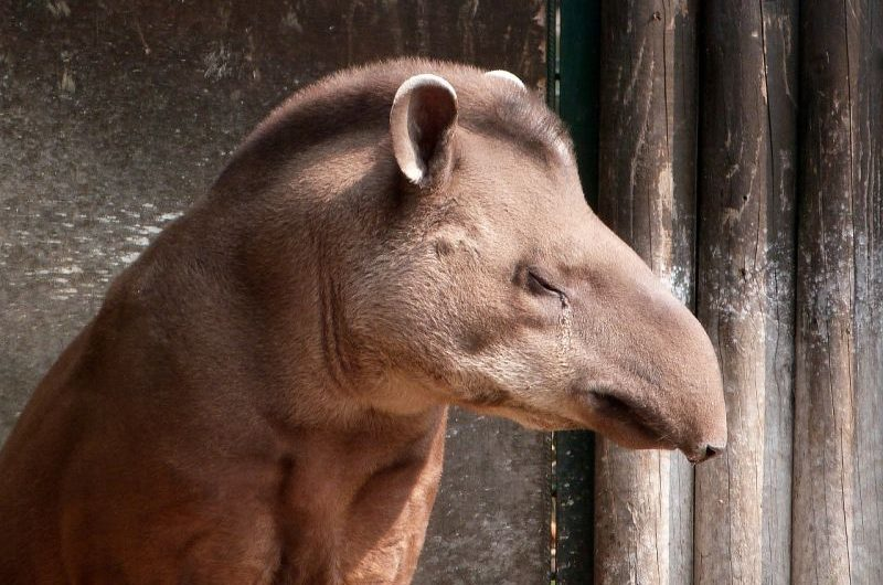 Tapir, qué es, características, hábitat, alimentación, reproducción