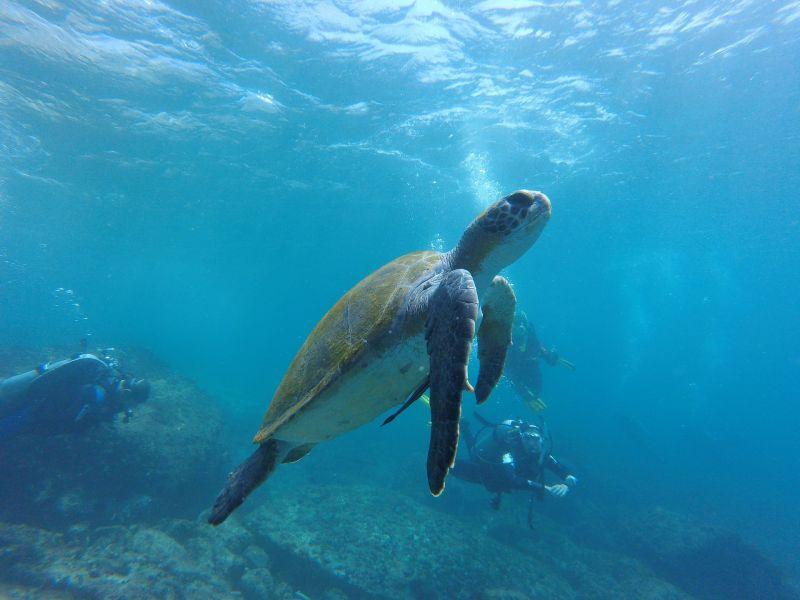 Tortuga marina, características, reproducción, alimentación, hábitat