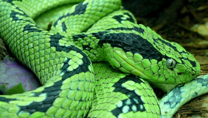 Yarará, características, comportamiento, reproducción Serpiente, víbora