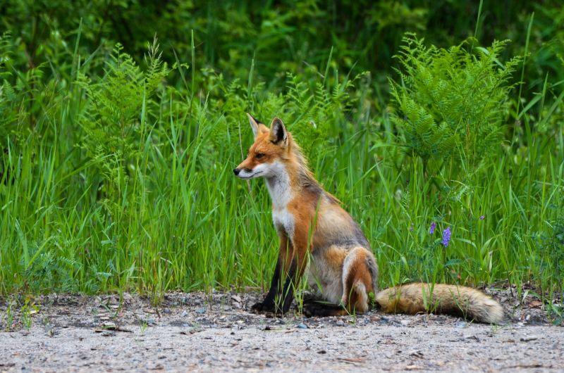 Zorro, características, hábitat, alimentación, reproducción Animal