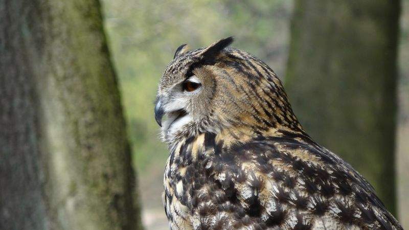 Búho Características, hábitat, alimentación, comportamiento
