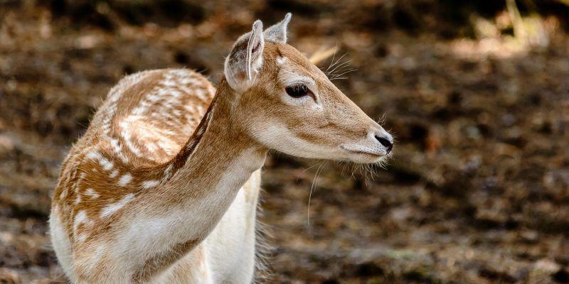 Corzo Características, hábitat, alimentación, reproducción Animal
