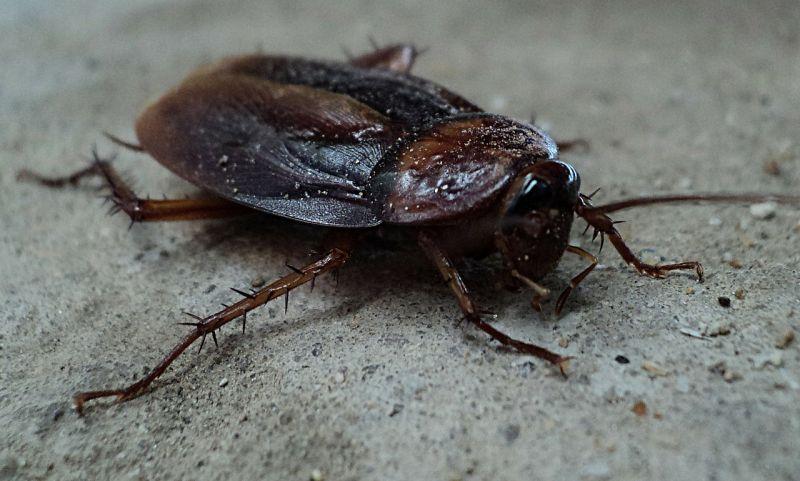 Cucaracha | Características, alimentación, hábitat, reproducción, amenaza