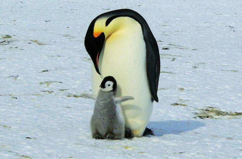 El pingüino emperador