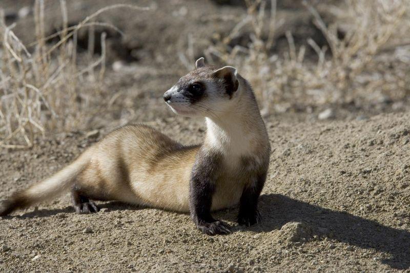 Hurón: Origen, Que es, Significado y Más de este animal