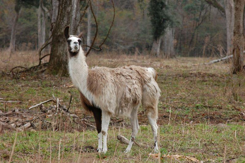 Llama Características, alimentación, reproducción, hábitat Animal