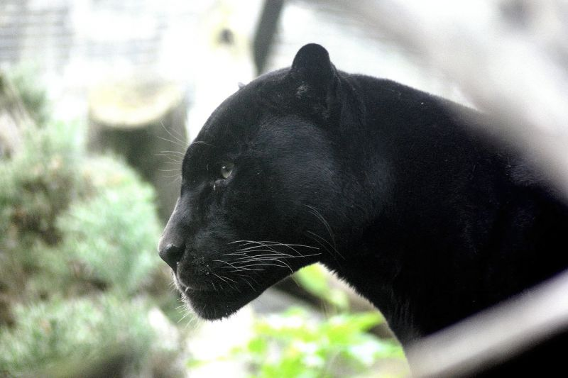 La Pantera Negra: Características, Alimentación, Hábitat
