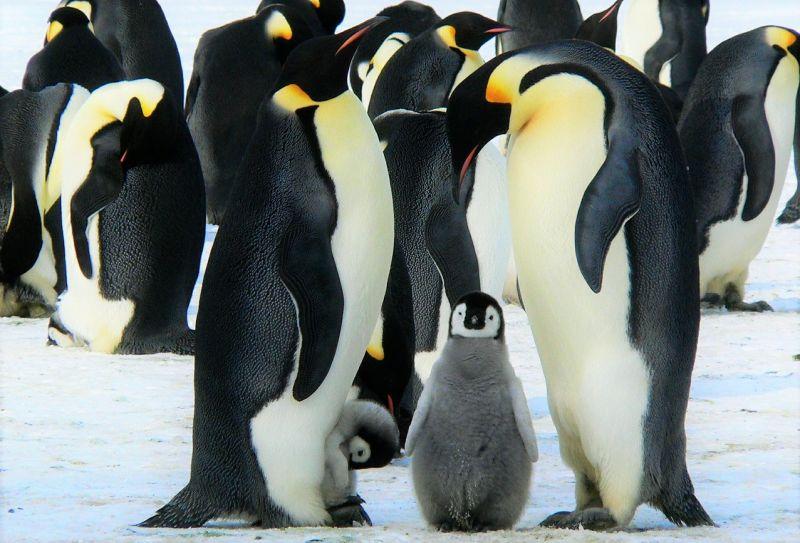 Pingüino emperador Características, reproducción, incubación, hábitat