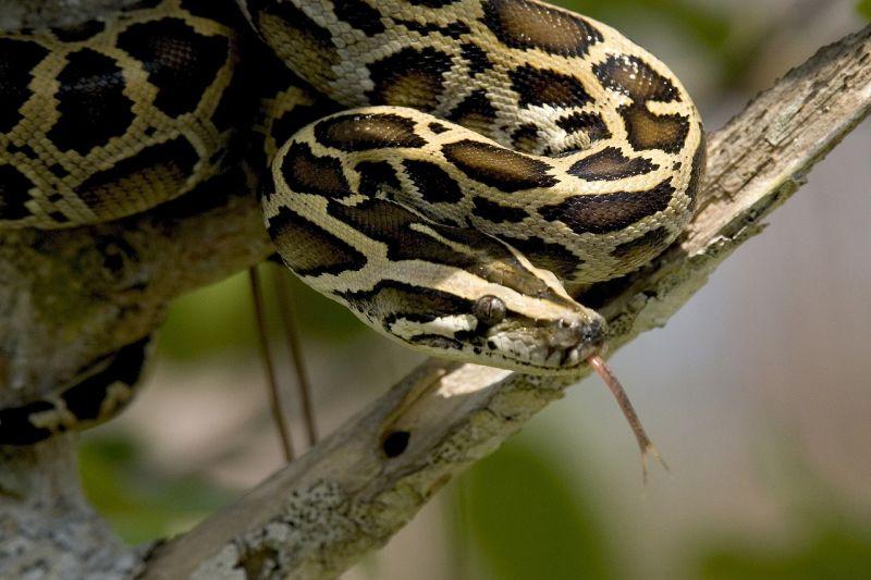 Pitón Características, comportamiento, alimentación Serpiente, animal