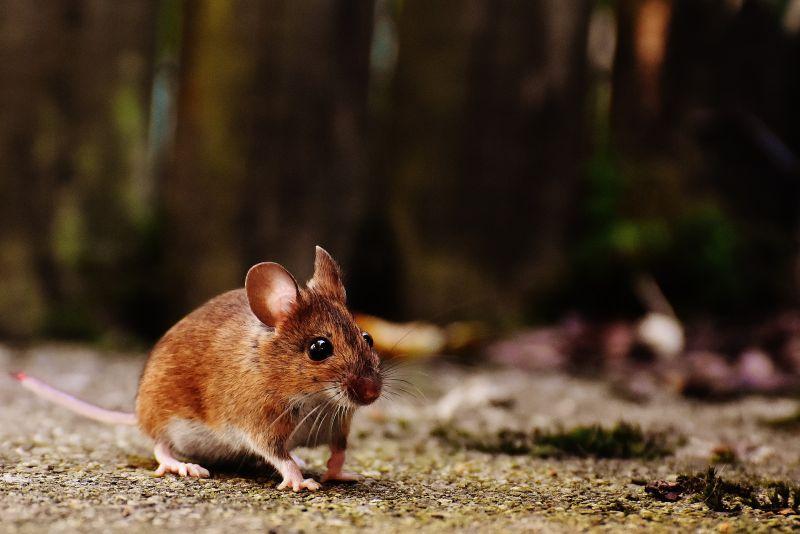 El ratón | Características, reproducción, alimentación, comportamiento
