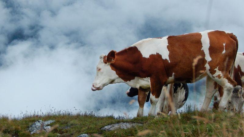 Vaca, características, alimentación, reproducción, vida, origen  Animal