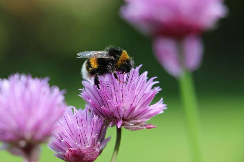 Abejorro Características, hábitat, alimentación, reproducción Insecto