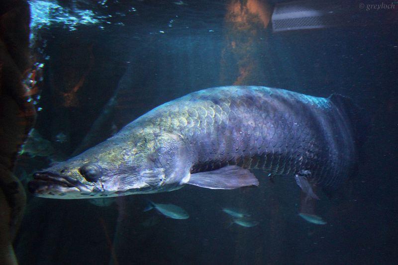 Arapaima Características, hábitat, especies, reproducción Pez