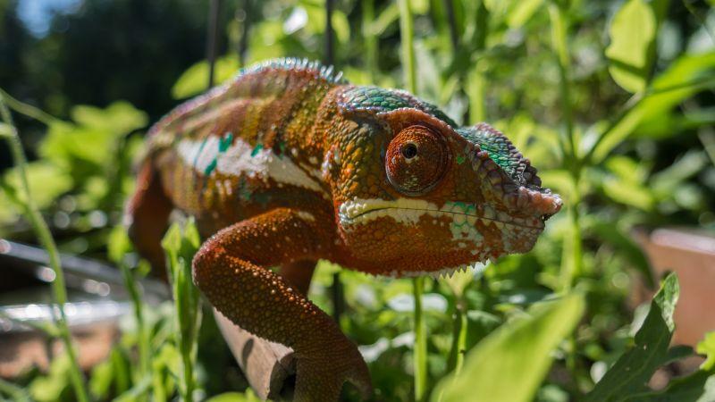 Camaleón Características, hábitat, alimentación, reproducción Animal