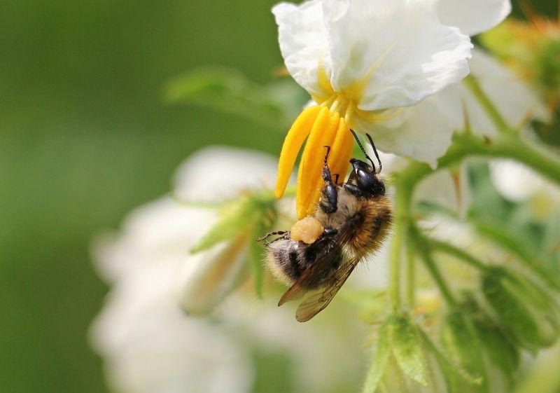 El abejorro