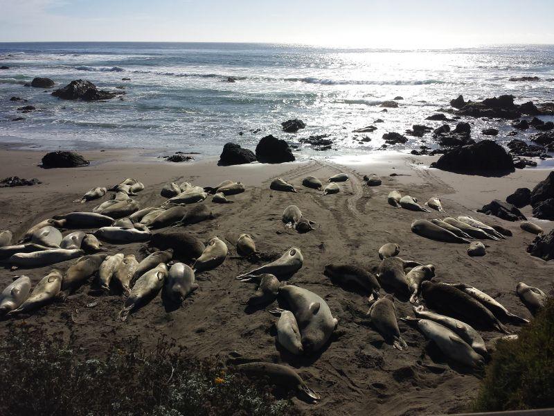 Elefantes marinos Características, hábitat, alimentación, reproducción