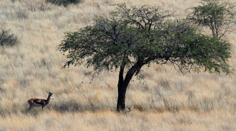 Gacela Características, hábitat, alimentación, reproducción Animal