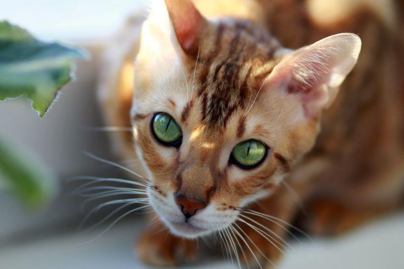 Gato bengalí Origen, características, cuidados, alimentación Mascota
