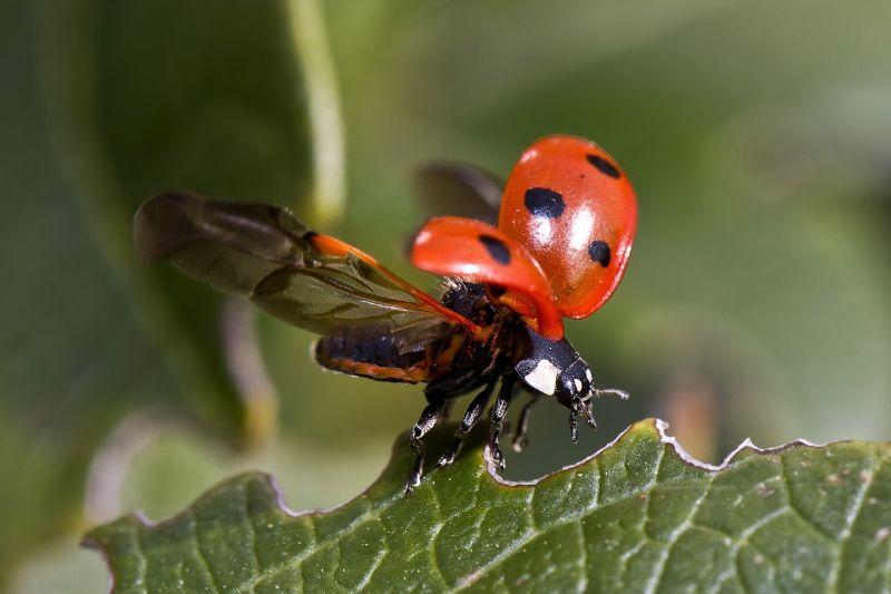 Mariquitas Características, hábitat, alimentación, reproducción Insectos