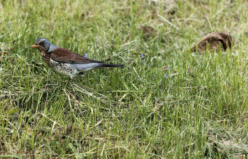 Zorzal Características, hábitat, reproducción, alimentación Ave