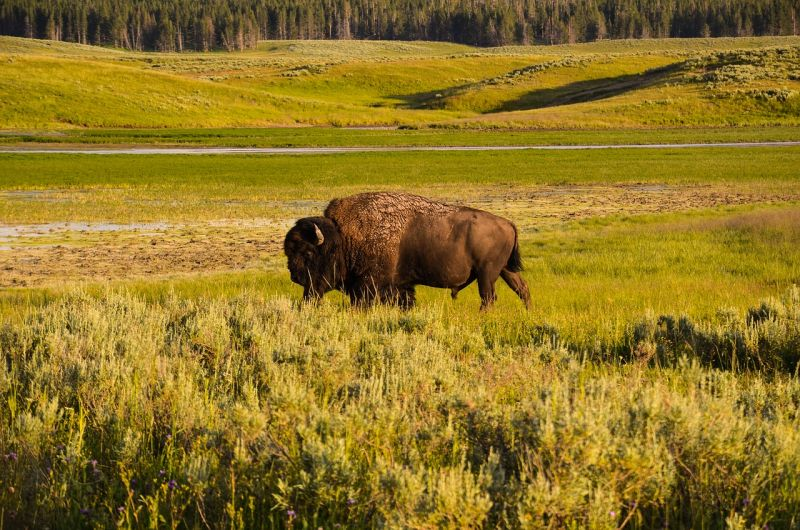 Búfalo Características, tipos, hábitat, usos Asiático, americano, africano