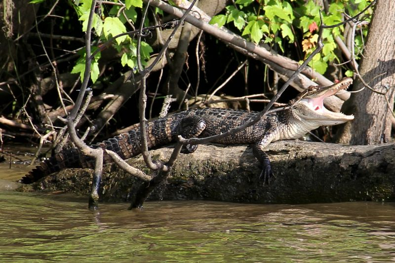 Caimán Características, alimentación, reproducción Reptil, animal