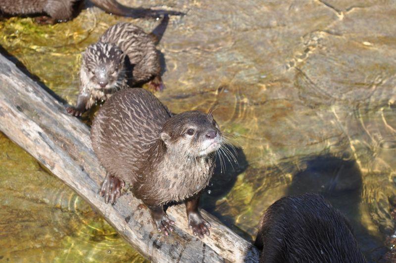 Castor Características, hábitat, tipos, reproducción, alimentación Animal