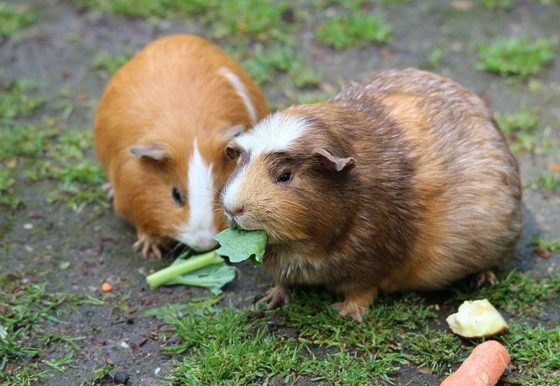 Conejillo de indias Características, qué come, reproducción, mascota Animal