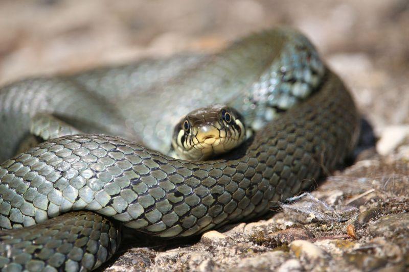 Culebra Características, hábitat, alimentación, reproducción Réptil, serpiente