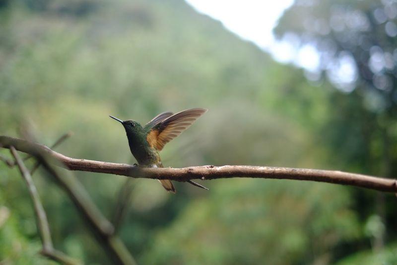 El colibrí