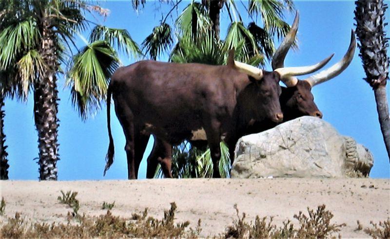 El watusi