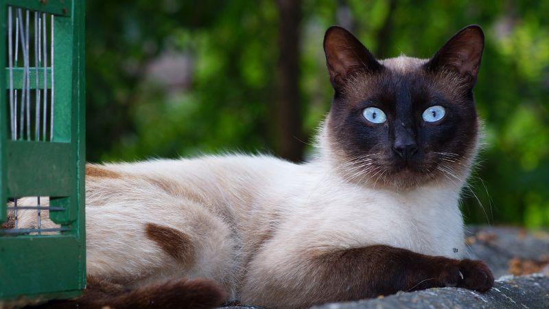 Gato siamés Características, caracter, cuidados Mascota