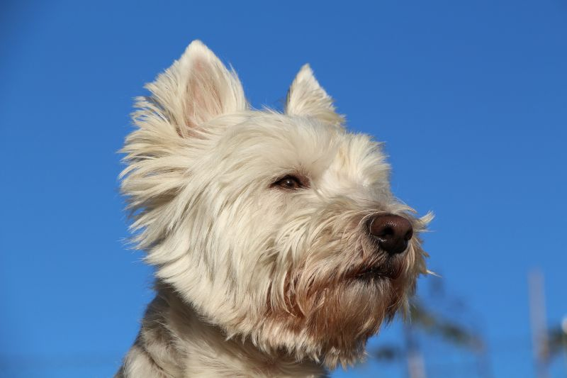 West Highland White Terrier Características, cuidados, evolución Perro